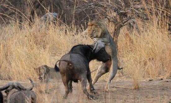 雄狮交配中被野牛顶飞