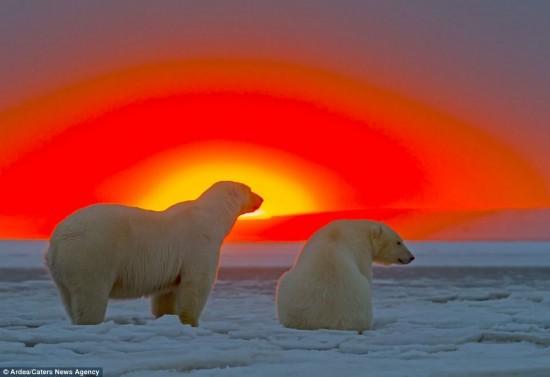 落日余晖优酷视频_落日余晖下的北极熊一家纯净自然