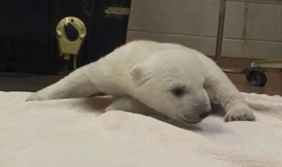 加北极熊全场v全场梦见萌翻乌龟学步两只宝宝凶恶图片