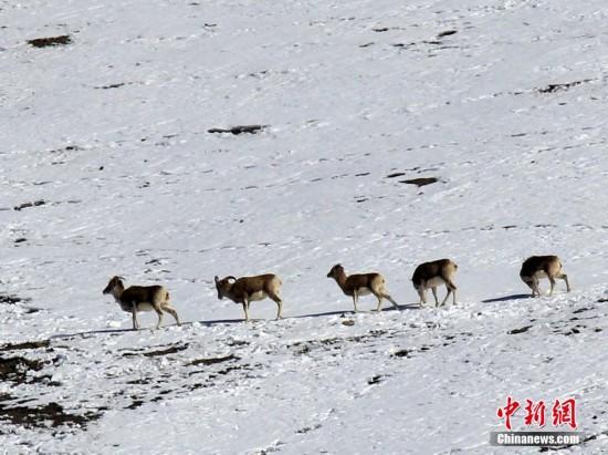 新疆现60余只野生盘羊集体觅食 场面壮观