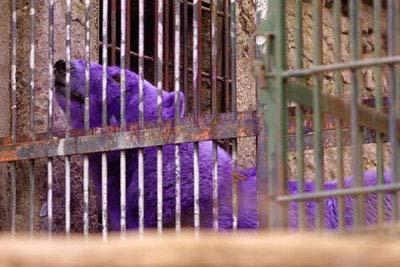 全球最罕见动物大盘点:紫色的北极熊(图)
