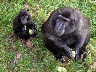 英国动物园禁止猴子吃水果糖分太多不利健康