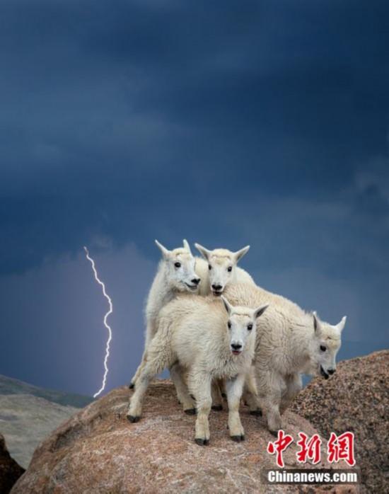 小羊羔遇电闪雷鸣 面露惊恐瑟缩山头(图)