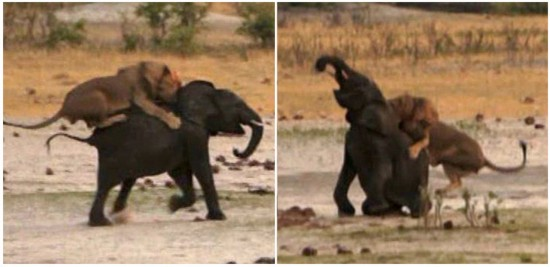 动态危险的非洲动物