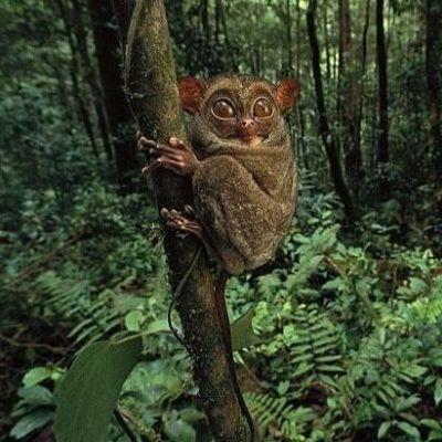这种超小灵长类动物的大眼睛是自然界最古怪的夜视镜,它的巨大的脚和