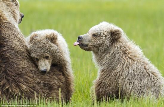 小熊吐舌头卖萌有趣瞬间:行为酷似人类