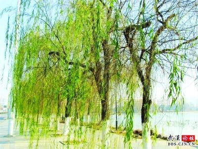 汉阳月湖畔一排柳树提早发芽,长出绿油油的嫩叶,让人仿佛走进了春天.