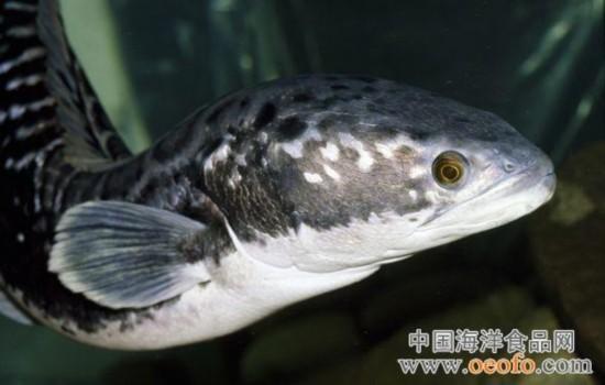 黑鱼   《国家地理》盘点13种最可怕的淡水动物 (6) 黑鱼又被称为蛇头鱼。在西方,黑鱼被认为是恐怖的物种。作为一种外来入侵物种,黑鱼常常会威胁本地物种的生存。在美国马里兰州的一个池塘,渔民发现了一条北方黑鱼。这条消息一下子成为媒体关注的焦点。生物学家警告,黑鱼能适应北美的生活环境,并会给本地生态系统带来严重破坏。黑鱼位于食物链顶端,身长可达3英尺(约1米),以无脊椎动物、青蛙和小型鱼类为食。在繁殖时期,它们会攻击所有在眼前移动的物体。黑鱼可以呼吸空气,离开水体也可存活4天。在干旱季节,它们会在淤泥中