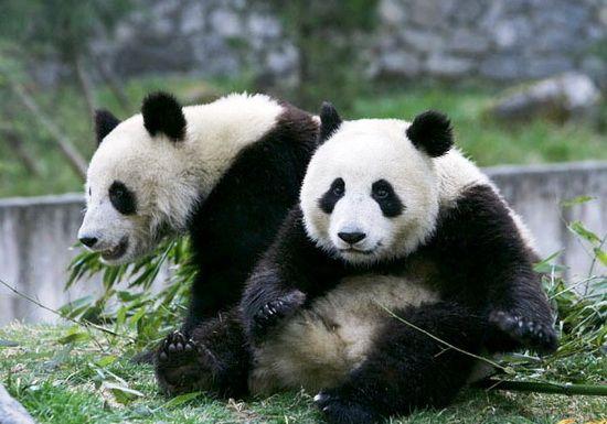 壁纸 大熊猫 动物 550_385