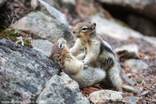 加拿大两只小松鼠打闹 互掐脖子