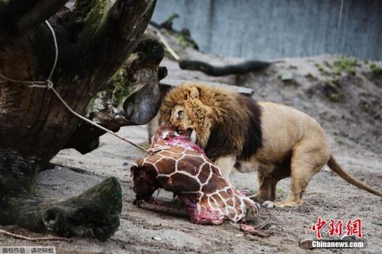 丹麦动物园处死长颈鹿喂狮子 园方收到死亡威胁