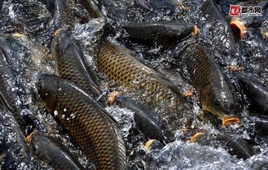 鲤鱼   人民网2月19日讯 综合外国媒体报道,美国芝加哥当局近日称,亚洲鲤鱼在当地已经泛滥成灾,必须采取措施阻止它们占领五大湖。   亚洲鲤鱼包括中国人常吃的鲤鱼、青鱼、草鱼、鳙鱼以及鲢鱼等几个鱼种。这些鱼虽然是中国人餐桌上主要的水产品构成,但在美国却成为令民众和当局头疼的有害物种。   美国20世纪70年代从中国进口多种亚洲鲤鱼,认为这是清理藻类以及水草的更为环保的方法。没有想到由于这些鱼在美国缺乏天敌而且也未成为人类食物之下疯狂繁衍,反倒制造了更大的问题。   美国工兵部队应国会以及白宫的要求在芝加