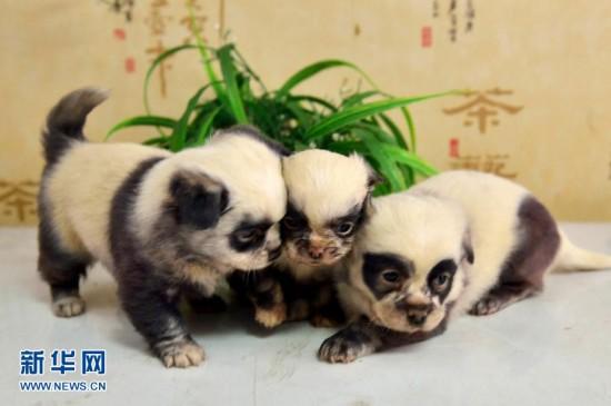 江苏盐城现熊猫狗 为京巴犬与土狗交配所生