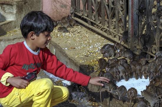 印度神庙供奉2万只老鼠受信徒朝拜(组图)