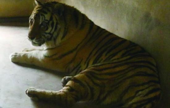动物园东北虎被逃票游客用砖头砸伤 屁股受伤流血