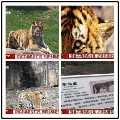 野生动植物日东北虎被游客砸伤 动物保护知多少?【6】