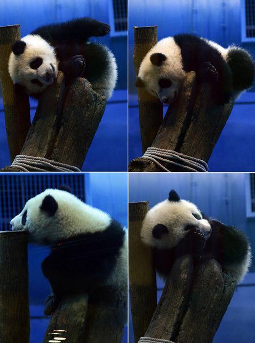"""台北/3月6日上午,台北天气阴冷有雨,台北动物园的萌宠""""圆仔""""酣..."""