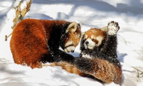 美动物园小熊猫雪中嬉闹打滚逗趣【2】