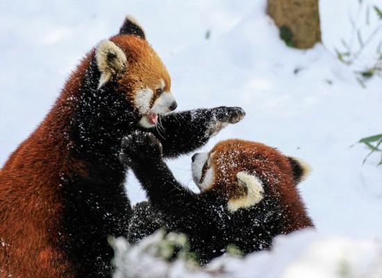 美动物园小熊猫雪中嬉闹打滚逗趣【5】