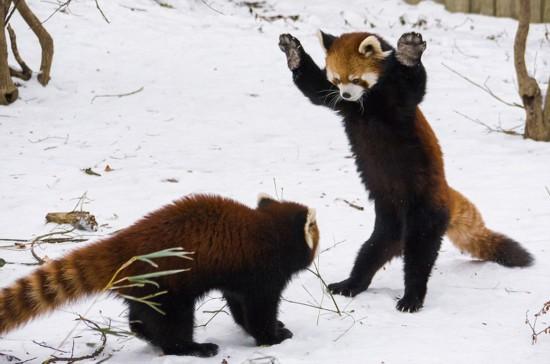郑州大熊猫死亡真相遭疑 动物园曾称送回四川交配 台军被爆男女士兵打