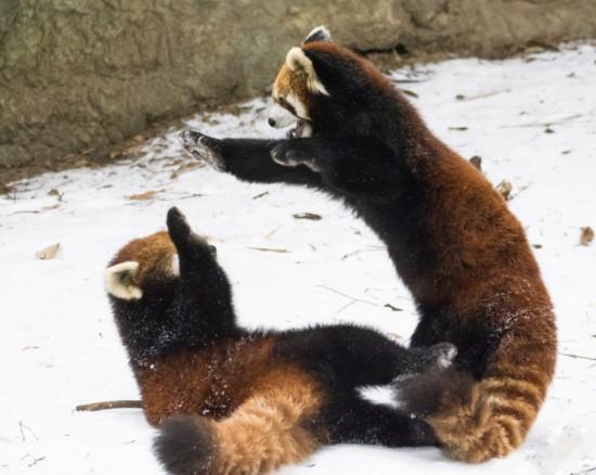 美动物园小熊猫雪中嬉闹打滚逗趣【4】