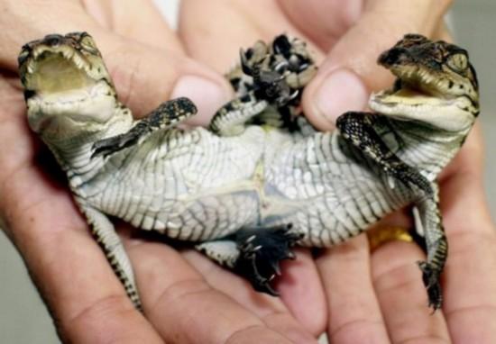 动物 双头/泰国曼谷郊区北榄鳄鱼场降生了一条连体鳄鱼...