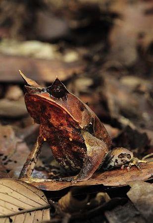 动物/叶角蛙(Leaf/horned frog)...