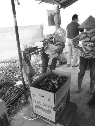 海南青椒收购5毛售价涨至3元 椒农直叫苦