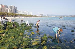 """三亚大东海出现绿藻 沙滩变成""""绿色地毯"""""""