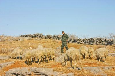 身穿迷彩服的老刘,挥舞着皮鞭,在山坡上放羊。