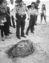 """海口百岁海龟搁浅海滩 背壳上有""""佛""""字"""