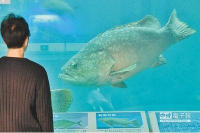 台湾阿祖级石斑体重超150公斤大洋池里颐养天年