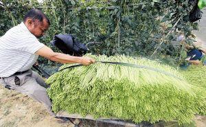 三亚冬季瓜菜进入产销旺季 菜农加紧采摘