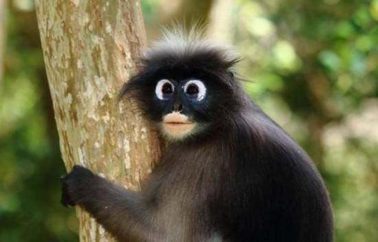 郁乌叶猴生活在非洲和亚洲,以树叶,种子,水果与花为食.