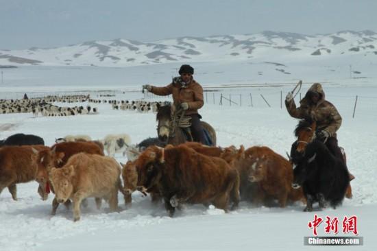 """新疆天山深处蒙古族牧民""""转场"""" 场面壮观"""