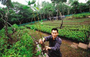填塘种红树 海口东寨港保护区正告别虾塘