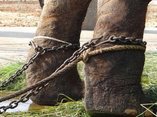 印度一寺廟內大象終日鐵鏈纏身 受盡虐待