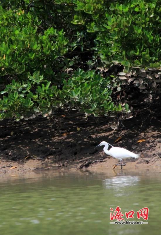 海口东寨港多措并举 红树林生态与效益并重