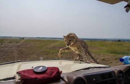 非洲小猎豹跳上车前盖温情抚摸游客
