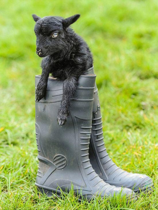 世界最小羊羔在英国出生 仅有啤酒罐高(组图)图片