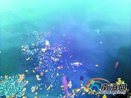 海口东西湖湖水发臭颜色成深褐色 出现大面积死鱼