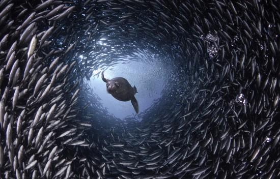 摄影师拍海狮穿行鱼群隧道掠食壮观画面