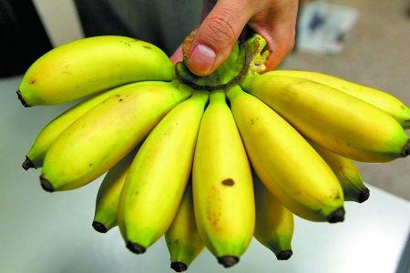 """""""香蕉艾滋病""""环球舒展 香蕉或面对灭顶之灾"""