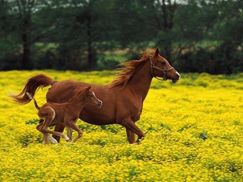 新疆草原上奔驰的骏马 美丽的传说和历史故事