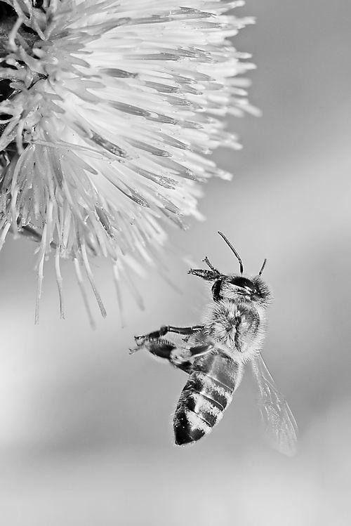 """鲜花 蜜蜂/蜜蜂摇摆舞暗含""""救命""""鲜花种植时间。图片来源:en.wikipedia...."""