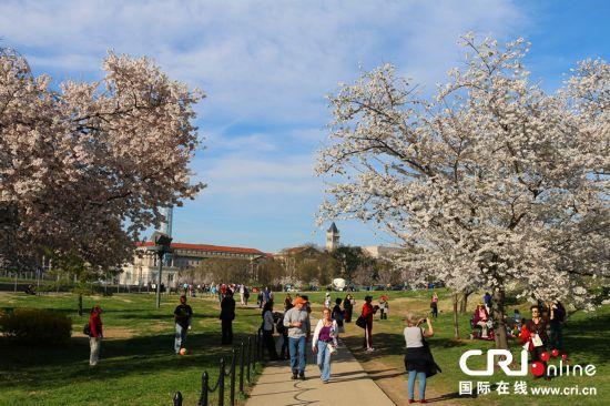 游客在华盛顿市区樱花树下拍照