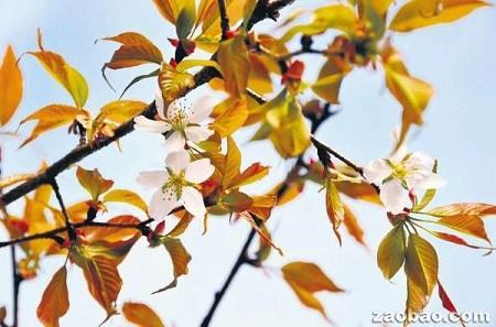 """日本""""太空樱花树""""提早6年开花科学家称奇(图)"""
