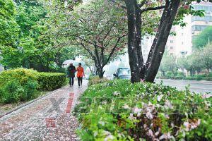 昨日,雨中的高新二路樱花花瓣铺满人行道