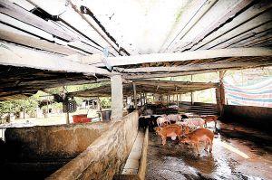 海口关停大小猪场20余家 清了河水海水