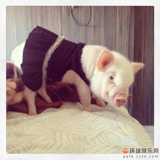 时尚 走红/超萌小猪走红网络